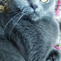Потерялась кошка, окрас дымчатый