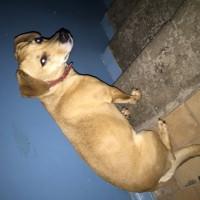 Найдена собака, окрас коричневый