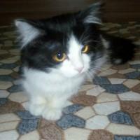 Потеряна кошка, окрас  чёрно-белый, пушистый