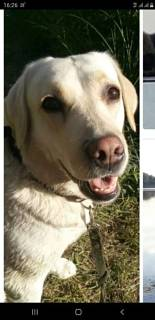 Пропала собака, порода лабрадор