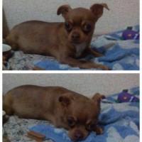 Пропала собака, порода чихуахуа, окрас коричневый