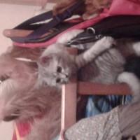 Пропал котик, окрас серый