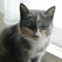 В добрые руки, кошка, окрас серо-белый с рыжими пятнашками