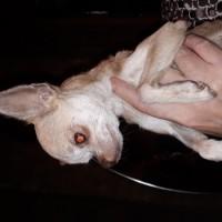 Найдена собачка, порода чихуахуа, окрас бежевый