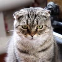 В добрые руки, кошка, окрас серый, полосатая