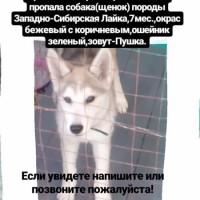 Пропала собака, порода западно-сибирская лайка, окрас бежевый с коричневым