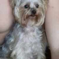 Пропала собака, порода мини-йорк
