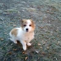 Найден щенок, окрас бело-рыжий