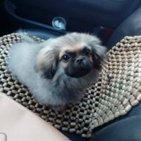 Пропала собака, порода пекинес, окрас бежевый