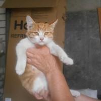 В добрые руки, котята, окрас рыже-белый