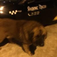 Найдена собака, порода ньюфаундленд, окрас темный