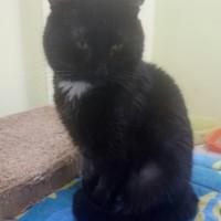 В добрые руки, котик, окрас черный с белым галстучком
