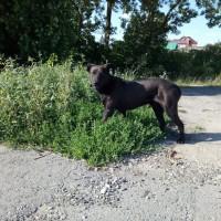 Найден пес, окрас коричневый