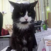В добрые руки, кот, окрас черный с белыми пятнами