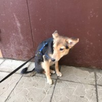 Найдена собака, окрас черно-рыжий с белыми пятнами