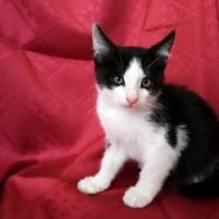 В добрые руки, котята, окрас черно-белый и белый
