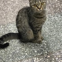 Найдена кошка, окрас серо-черный