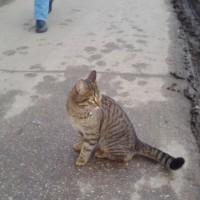Пропал кот, окрас камышовый, полосатый