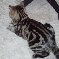 Найдена кошка, окрас серый с черными полосами