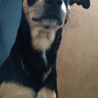 Потерялся пес, окрас черно-коричневый