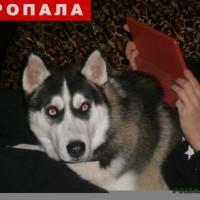 Потерялась собака, порода хаски, окрас трехцветный