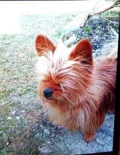 Найдена собака, порода йорк, окрас рыжий