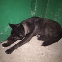 Найдена собака, окрас темный