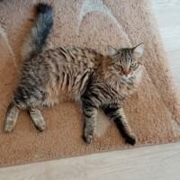 Пропал кот, окрас камышовый