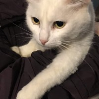 В добрые руки, кошка, окрас белый