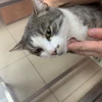 Найден кот, окрас серо-белый