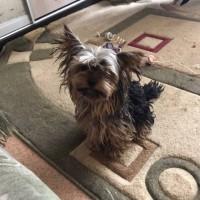 Найден пес, порода йоркширский терьер, окрас темный