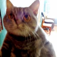 Нашлась кошка, окрас серый, полосатый