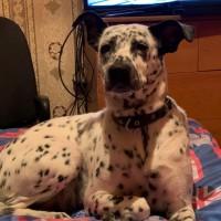 В добрые руки собака, порода далматин, окрас бело-черный