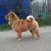 Пропала собака, порода чау-чау