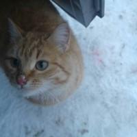 Найдена кошка, окрас рыже-белый