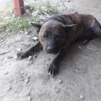 Найден пес, окрас черно-рыжий