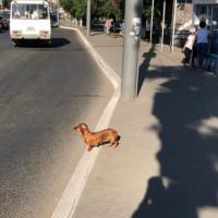 Найдена собака, порода такса