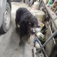 Найден пёс\собака, окрас черный с подпалом, пушистый
