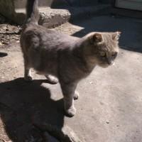 В добрые руки, кошка. окрас серый