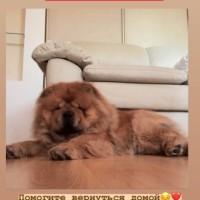Потеряна собака, порода чау-чау, окрас коричневый