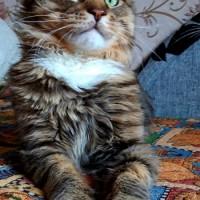 Потерян кот, порода мейкун