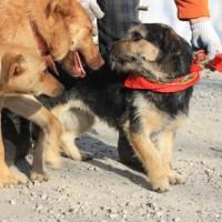 В добрые руки, собака, окрас коричнево-черный
