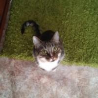 Пропал кот, окрас камышовый с белым