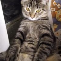 Пропал кот, окрас серый, полосатый