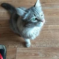 Потерялась кошка, окрас камышовый