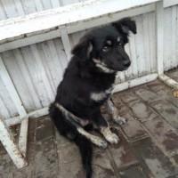 Найдена собачка, окрас черный с белыми пятнами
