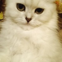 Пропала кошка, окрас белый