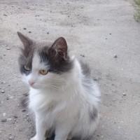 Пропал кот, окрас бело-черный