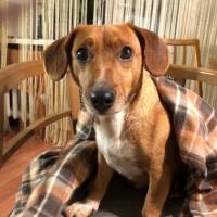 Найдена собака, окрас коричневый, белая грудка и лапы