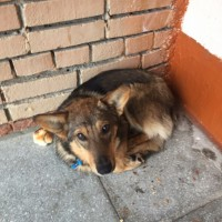 Пропала собака, окрас светло-коричневый